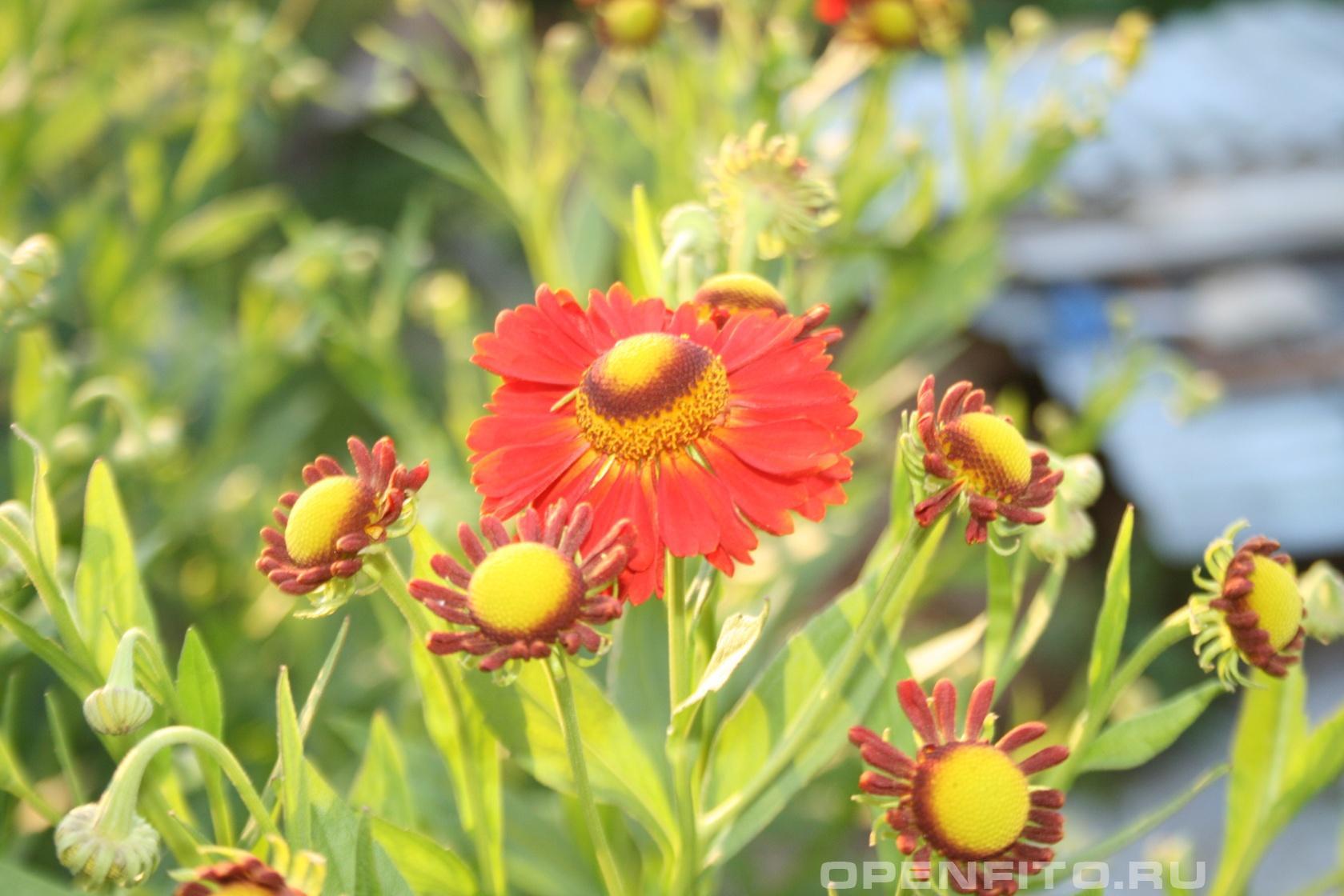 Гайлардия Садовое растение