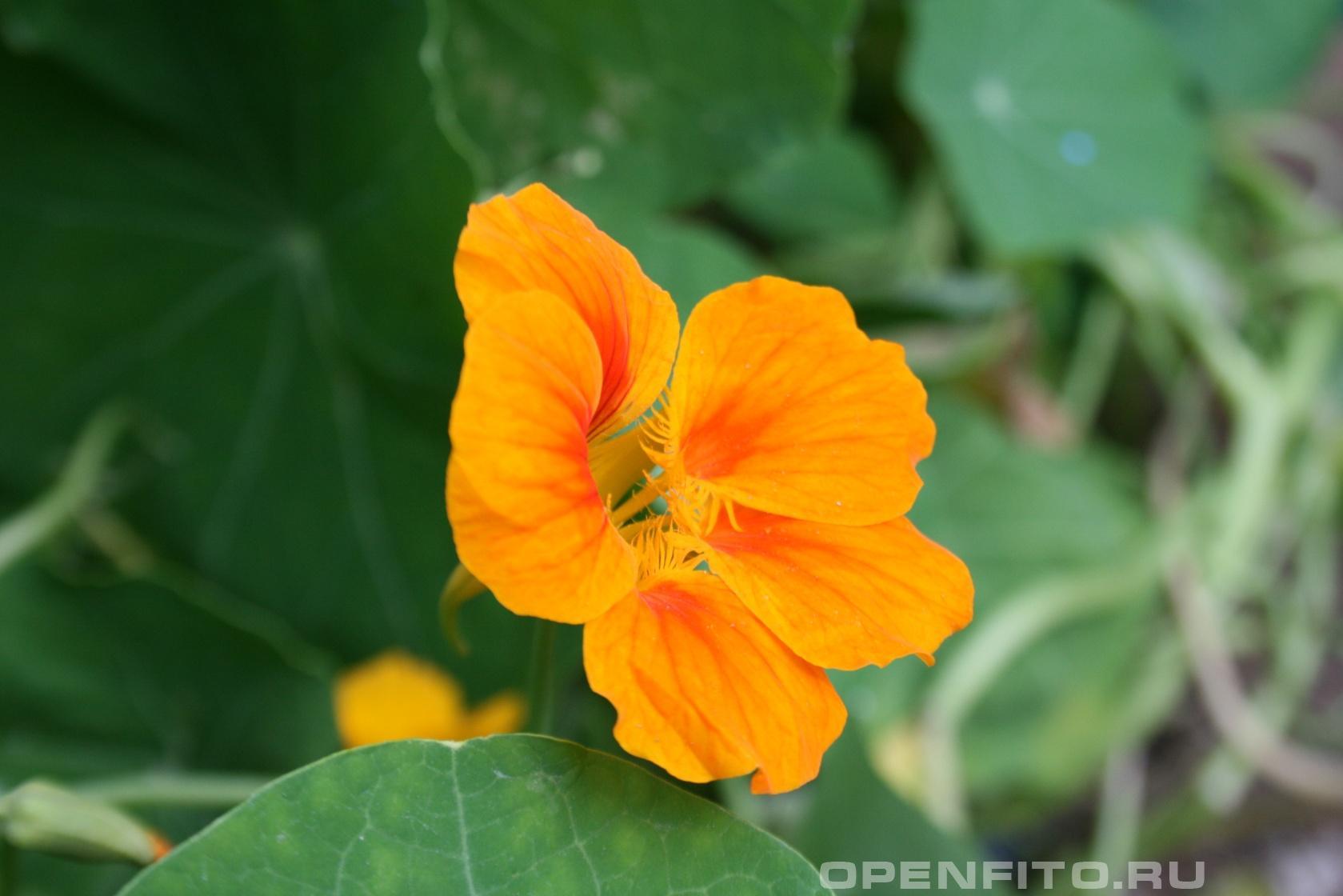 Настурция большая <p>лекарственное растение</p>