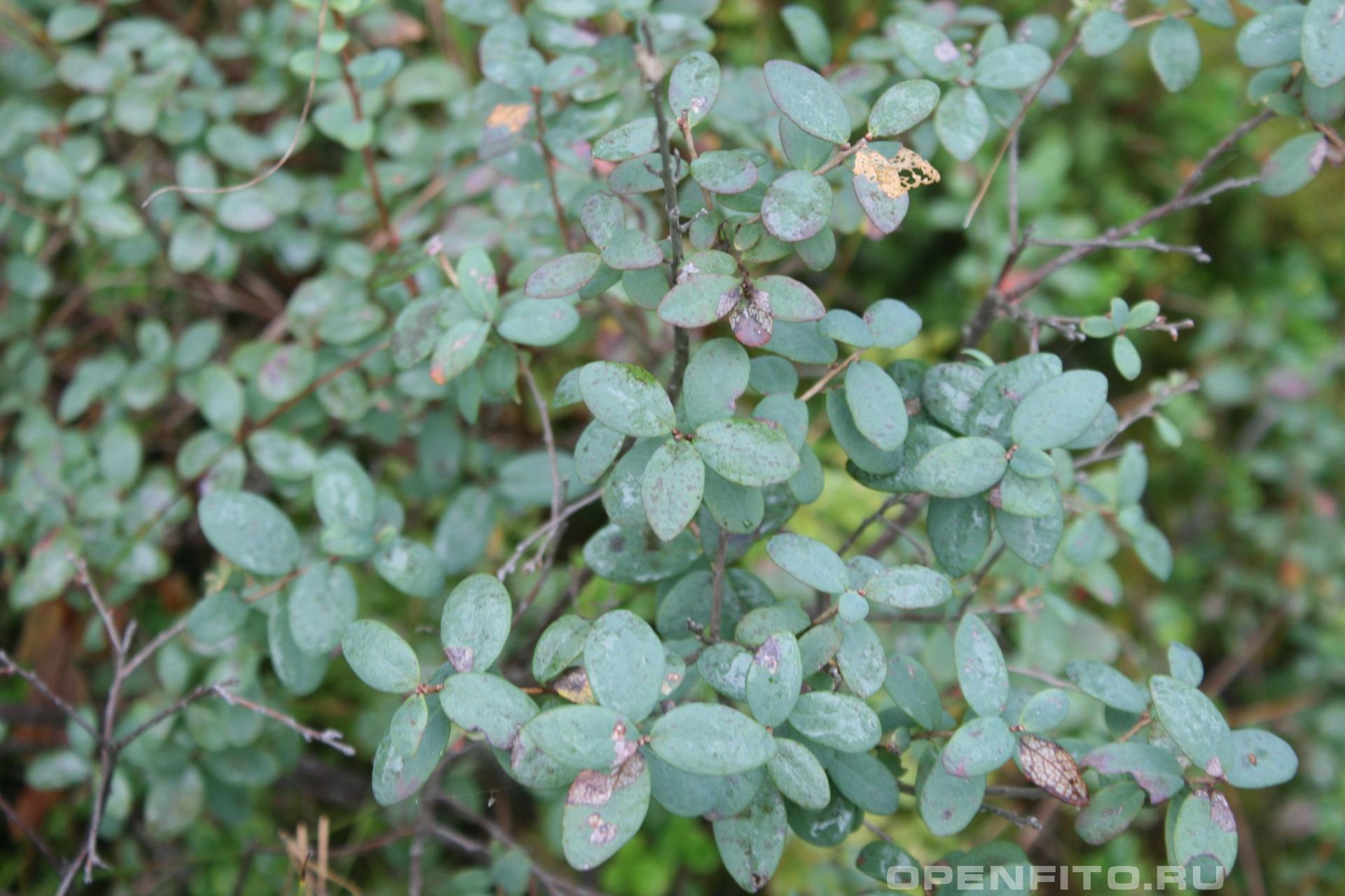 Голубика обыкновенная <p>или гонобобель (сентябрь)</p>