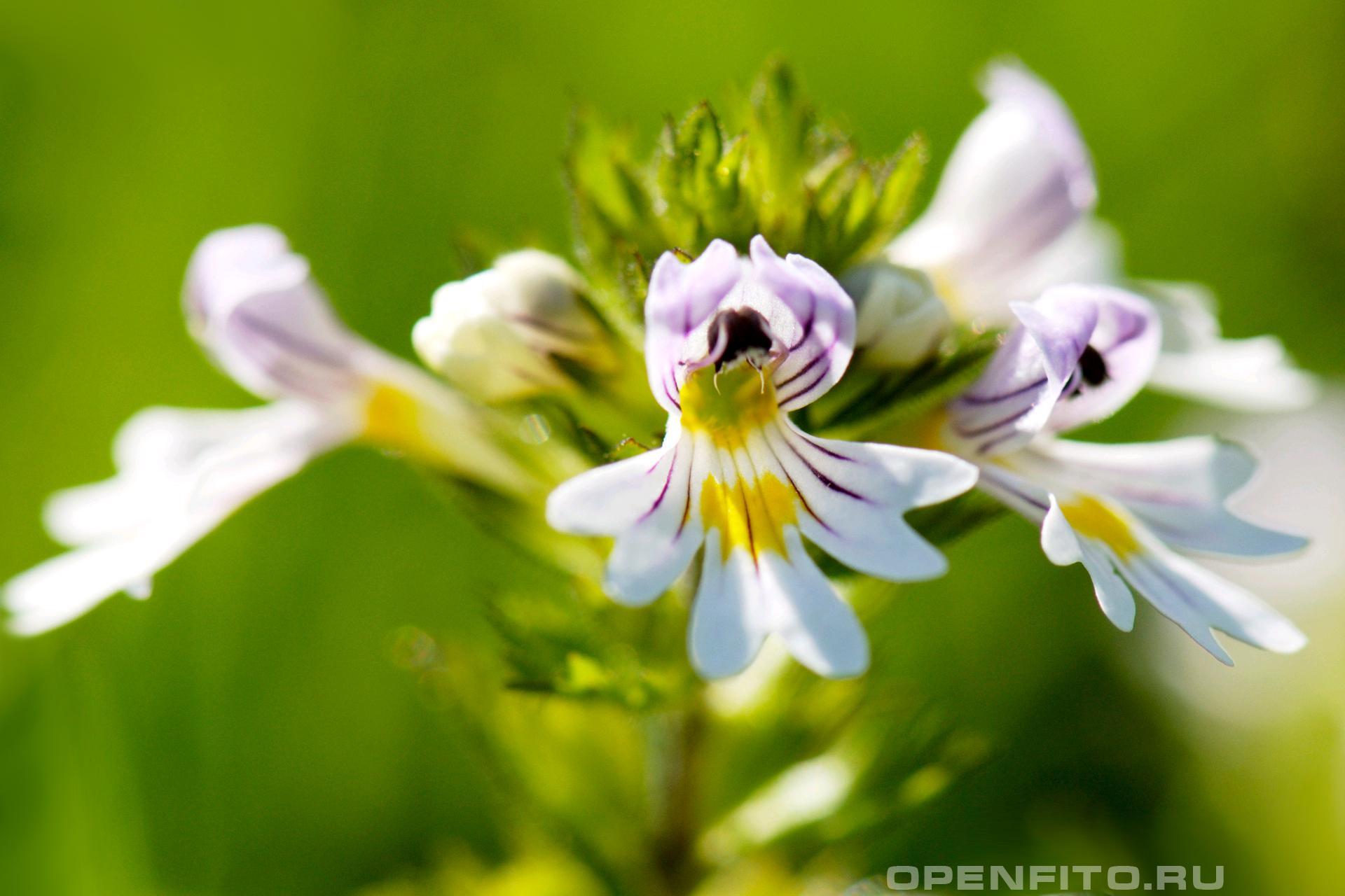 Очанка лекарственная и чайная трава
