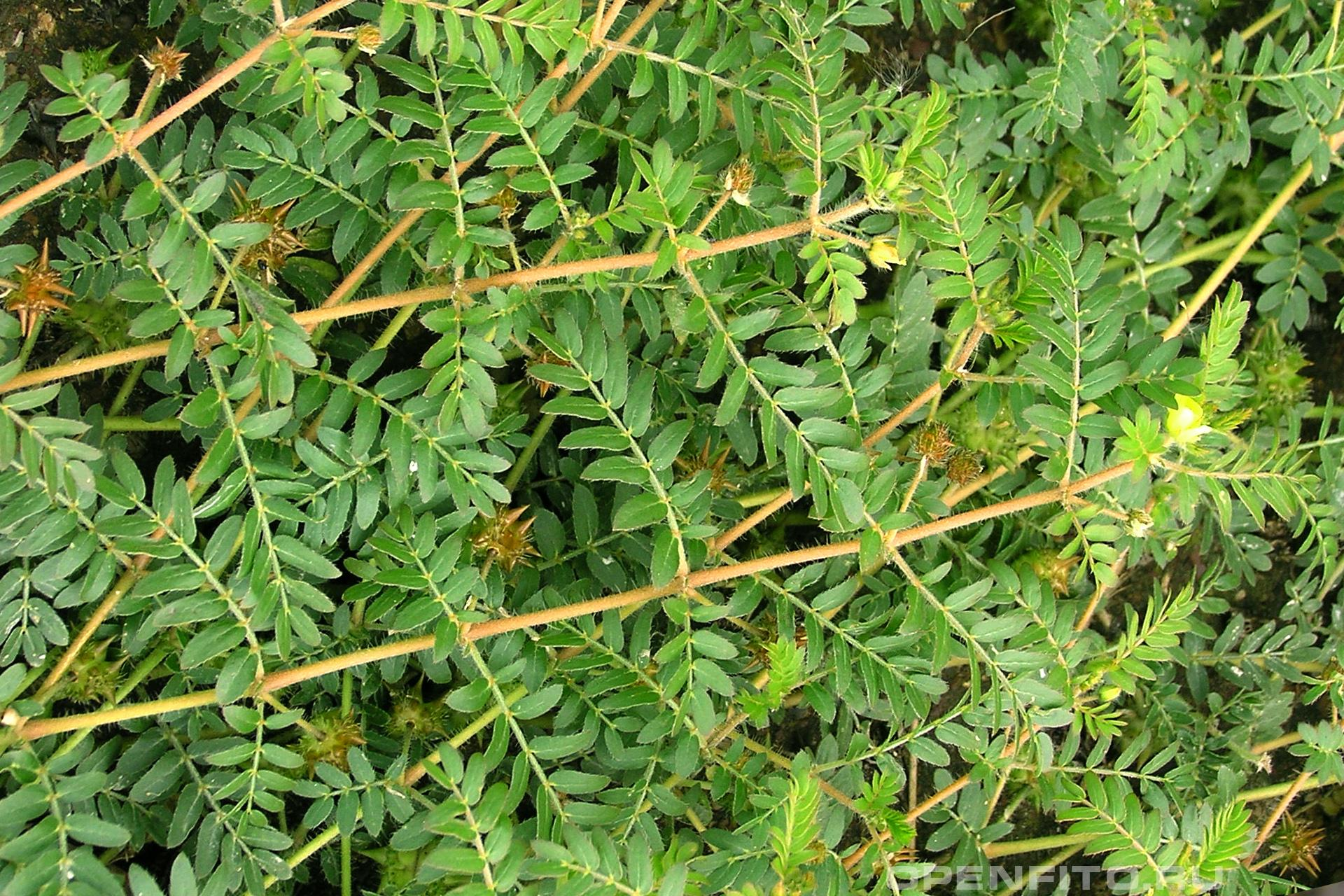 Якорцы стелящиеся лекарственное растение