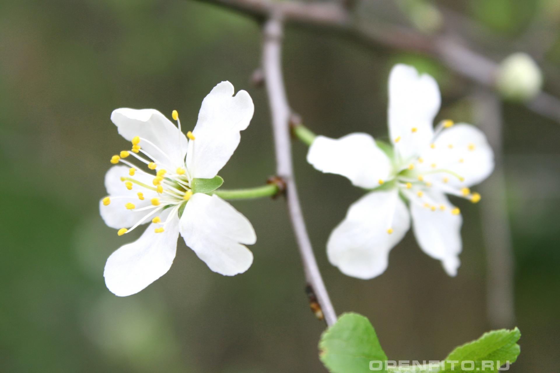 Вишня весенние цветки