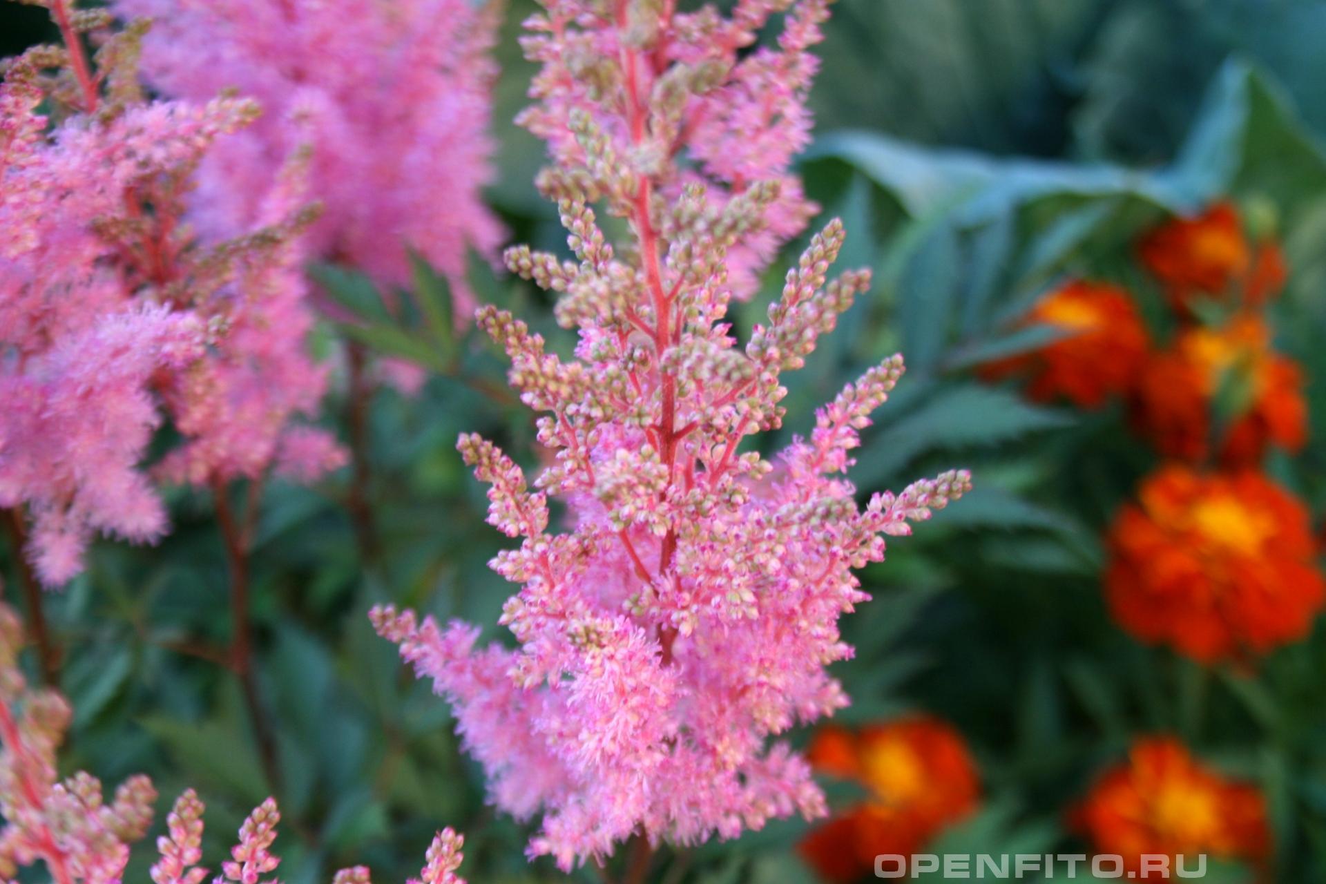 Астильба Давида <p>садовый цветок астильба китайская</p>