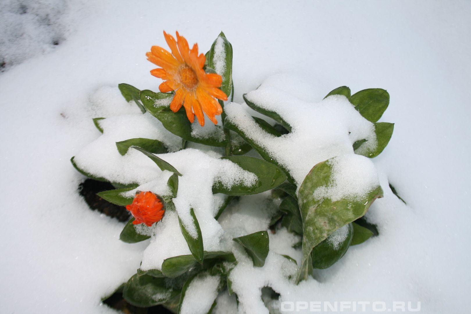 Календула замерзшее растение
