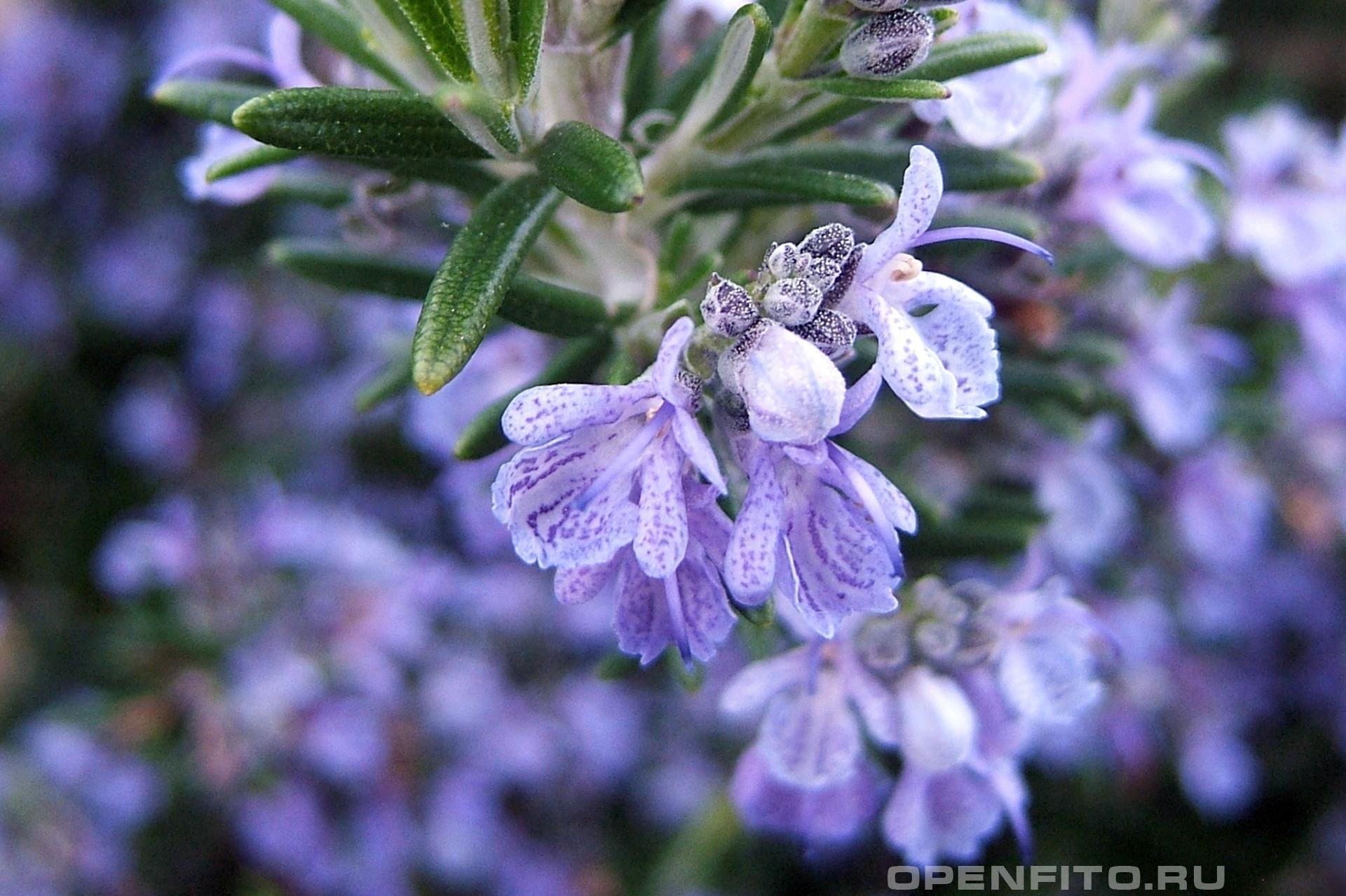 Розмарин лекарственный ароматное растение