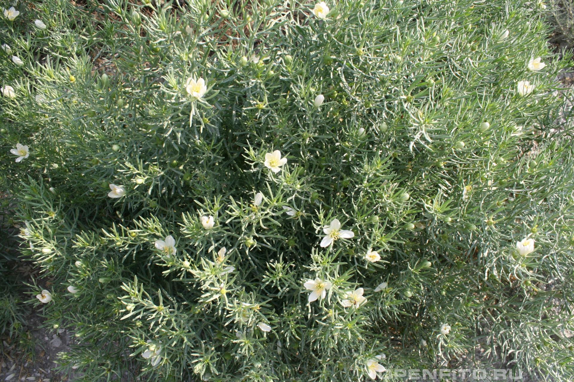 Пеганум гармаловый <p>или Гармала обыкновенная, лекарственное растение</p>