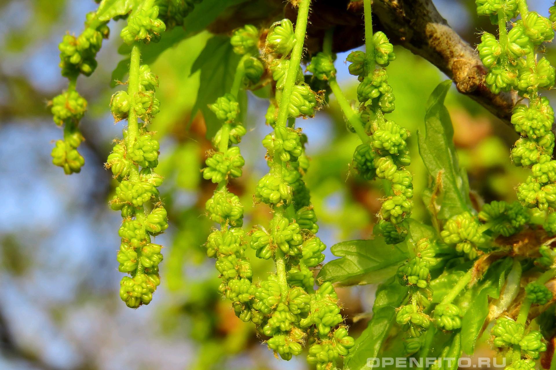 Дуб черешчатый так цветет дуб