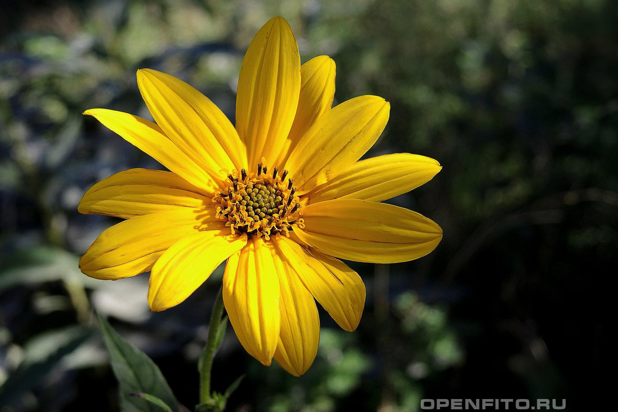 Подсолнечник клубненосный <p>Лекарственное растение топинамбур</p>