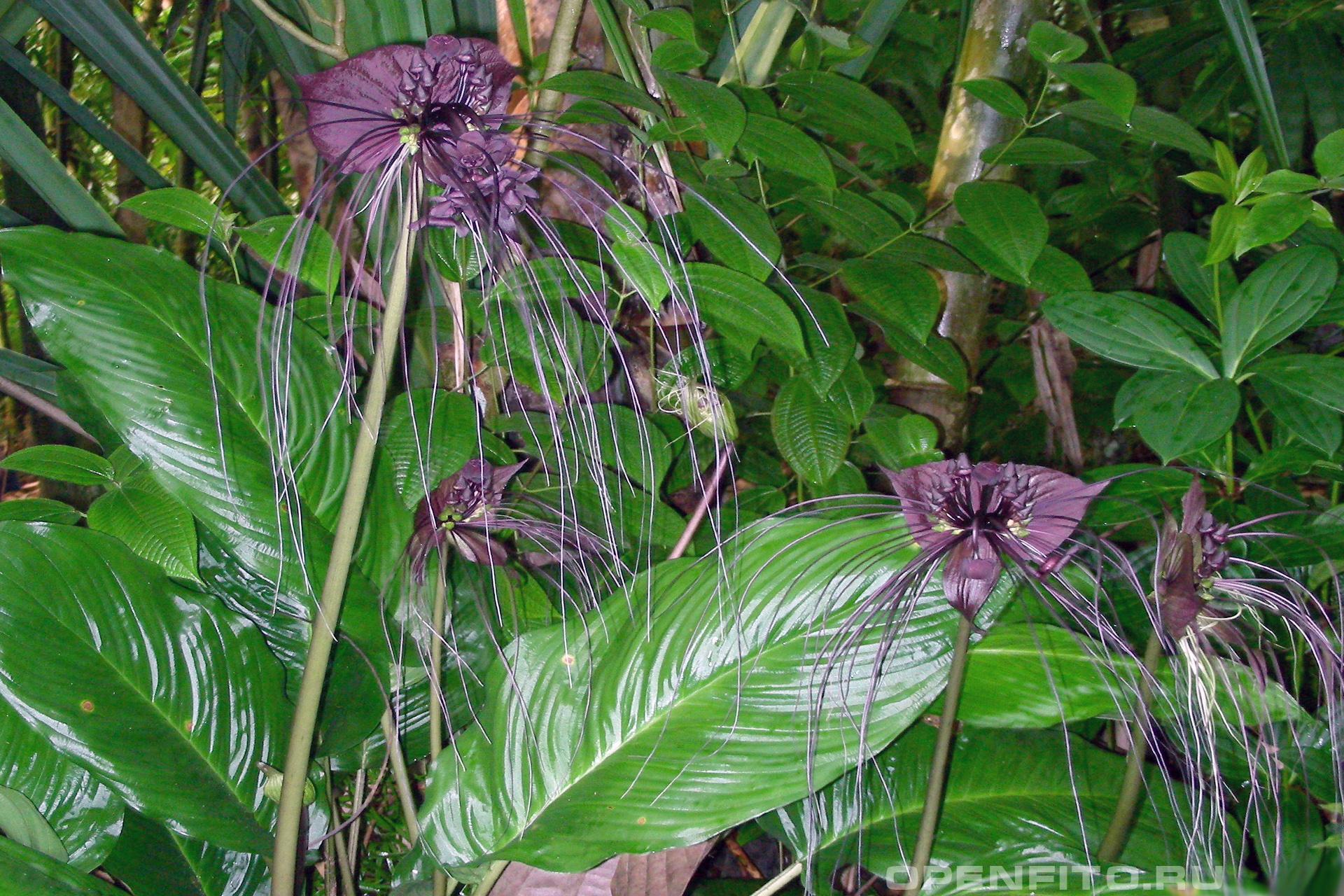 Такка один из самых необычных цветков на планете