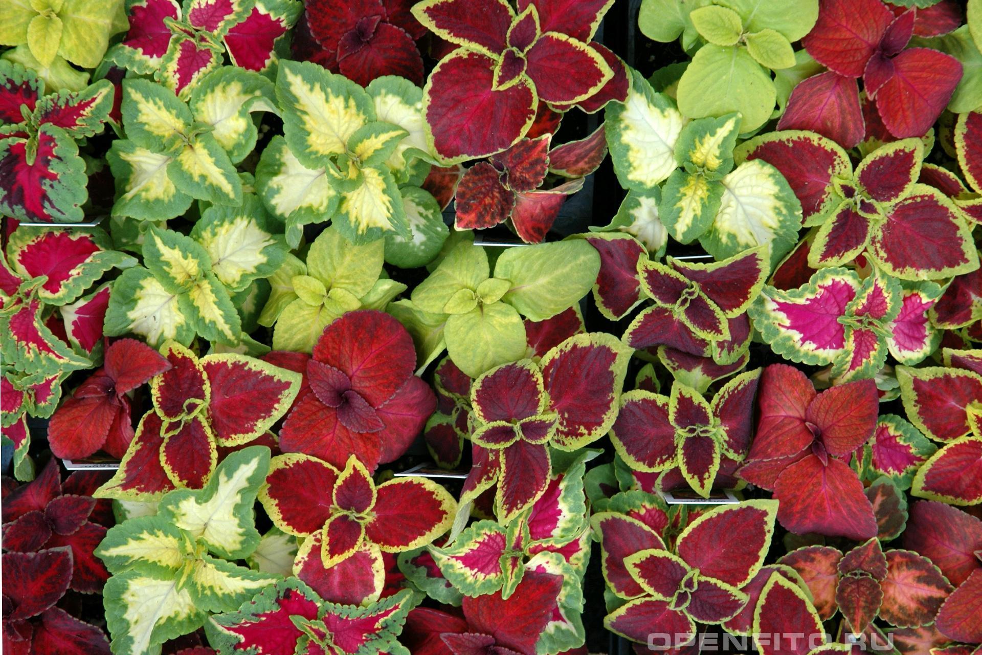 Колеус Блюме домашняя крапива - сорта одного растения