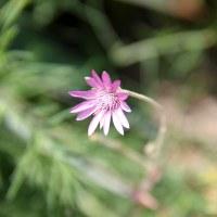 фото Сухоцвет однолетний