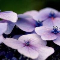 фото Гортензия садовая