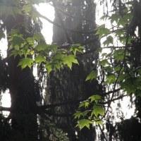 фото Ликвидамбар смолоносный