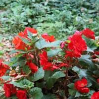 фото Бегония садовая