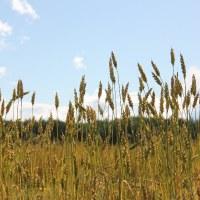 фото Пшеница мягкая