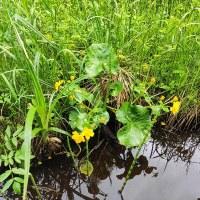фото Калужница болотная