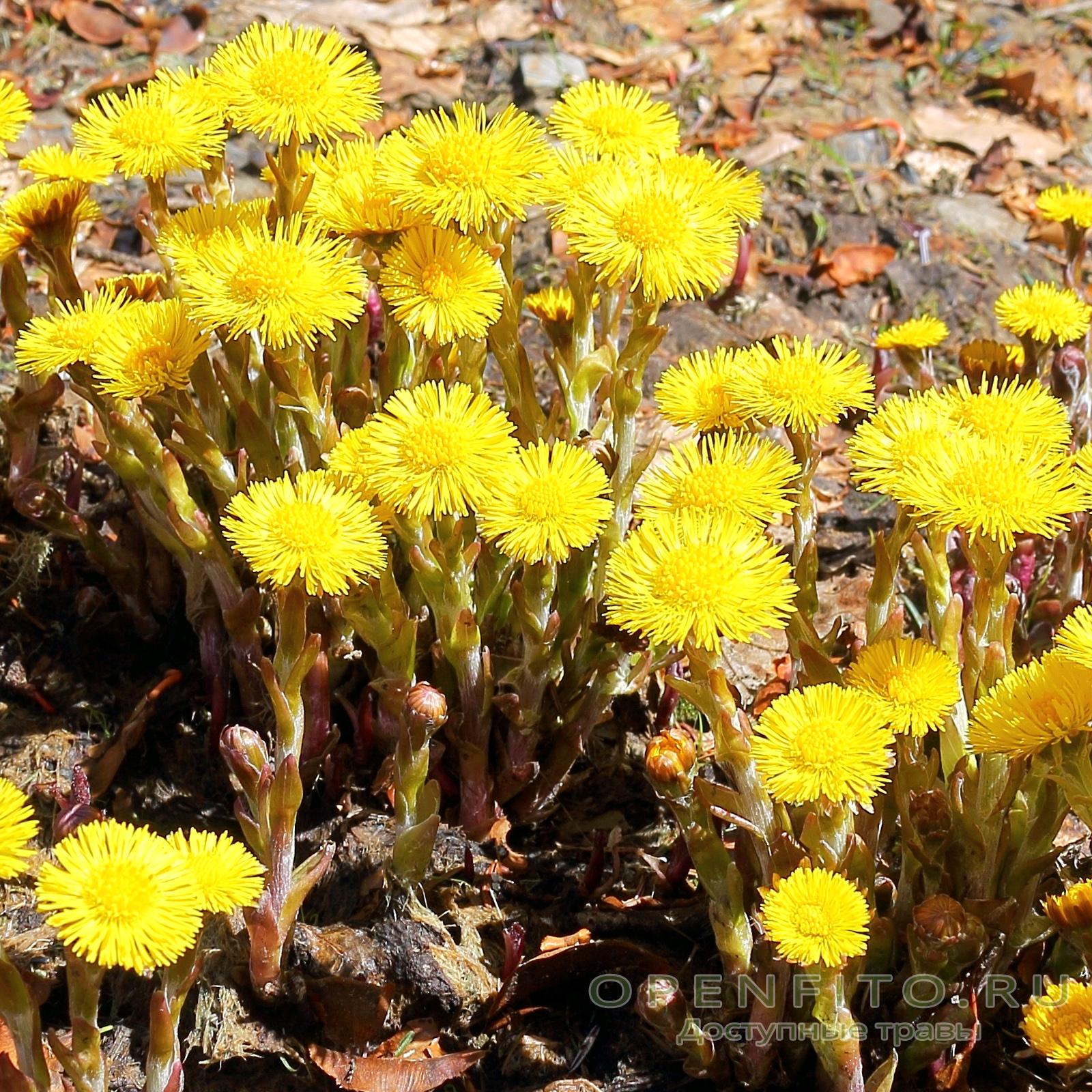 Майские цветки мать-и-мачехи