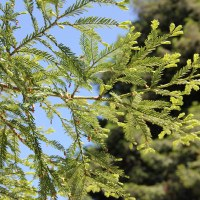Секвойя вечнозеленая