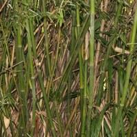Бамбук сизоватый