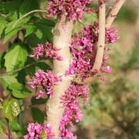 Багряник рожковый