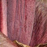 Аморфофаллус коньяк