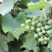 Виноград обыкновенный