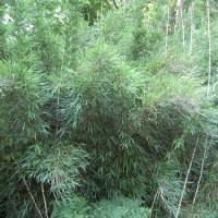 Бамбук чускея