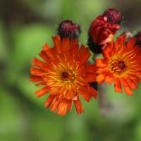 Ястребиночка оранжево-красная