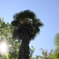 Трахикарпус высокий