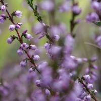 Июльские цветки вереска