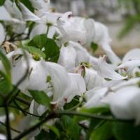 Циноксилон цветущий