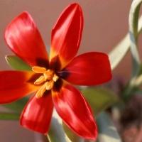Тюльпан Зинаиды