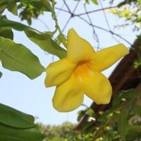Пенталинон желтый