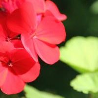 Пеларгония садовая