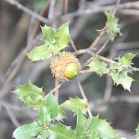 Дуб калепринский