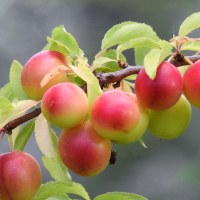 Слива вишненосная